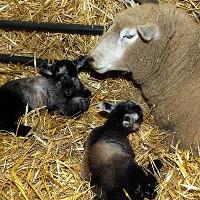 """Chuyện lạ về cừu """"đồng trinh"""" đẻ sinh đôi"""