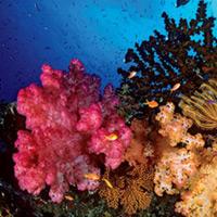 Rạng san hô Belize Barrier
