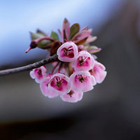 Ngắm hoa đào chuông rực rỡ trên đỉnh Bà Nà