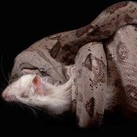 Tại sao rắn đếm nhịp tim con mồi trước khi ăn?