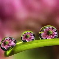 """Ngỡ ngàng trước vẻ đẹp lung linh của """"hoa trong giọt sương"""""""