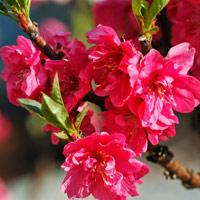 Chùm ảnh: Hoa đào đẹp rực rỡ đón tết 2021