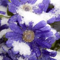 """Hoa """"ngậm"""" tuyết tại Sa Pa đẹp như ở xứ sở thần tiên"""