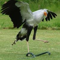 Sức mạnh cú đá của chim ninja