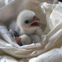 Chim cắt bạch tạng nghìn đô đoàn tụ với mẹ