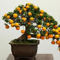 Cách chọn mua cây quất đẹp, bền, nhiều tài lộc đón Tết