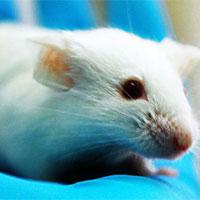 Tìm được loại thuốc kéo dài tuổi thọ chuột 35%, sắp có cho con người?