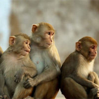 44 sự thật đầy thú vị về loài khỉ mà bạn chưa biết
