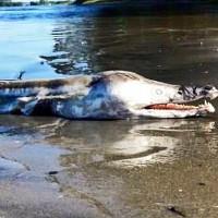 Quái vật khổng lồ giống cá sấu đang làm mưa làm gió trên mạng thực chất là gì?