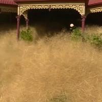 """Loại cỏ kỳ dị """"nhấn chìm"""" thị trấn Úc"""