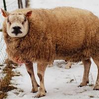 Loài cừu đặc biệt vừa giống cừu vừa giống chó