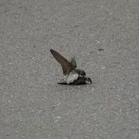 Chim nhạn cát cố gắng giao phối đồng tính với con trống đã chết