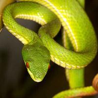 Bị rắn độc cắn, sơ cấp cứu thế nào?