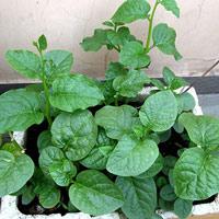 Cách trồng rau mùng tơi sạch đơn giản tại nhà