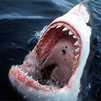 Những loài cá mập sát thủ của đại dương