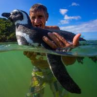 """Sự thật phía sau câu chuyện """"Chú chim cánh cụt vượt 8.000km mỗi năm để về thăm ân nhân"""""""