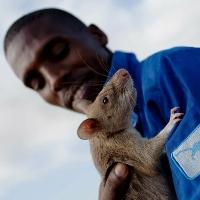 Chuột khổng lồ đánh hơi bệnh lao, phát hiện bom mìn