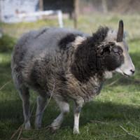 Phát hiện cừu 1 sừng độc nhất vô nhị