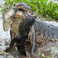 Video: Cá sấu dài 4m nuốt chửng đồng loại