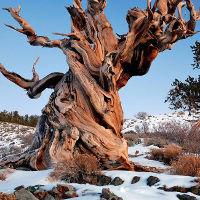 10 cây có tuổi thọ lâu đời hơn cả nền văn minh nhân loại