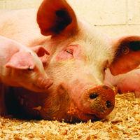 Kỹ thuật chăn nuôi lợn thịt sạch bằng men ủ vi sinh