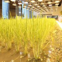 Ruộng lúa chín vàng óng trong văn phòng công ty Nhật