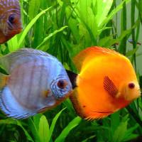 Top 10 loài cá đẹp nhất thế giới