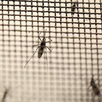 Phát hiện cách thức diệt virus Zika gây bệnh đầu nhỏ
