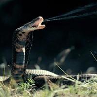 Những chuyện lạ ít biết về loài rắn