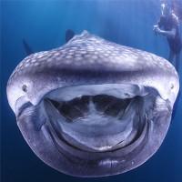Ngộ nghĩnh cá mập voi cười tít mắt trước camera
