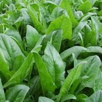 Cách trồng cây rau chân vịt chống ung thư tại nhà