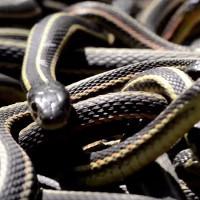 Hang rắn lớn nhất thế giới bừng tỉnh sau giấc ngủ đông