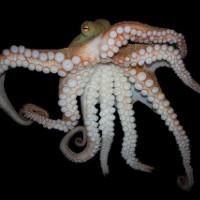 """Khám phá bí mật về bạch tuộc - Loài """"quái vật"""" biển cả"""