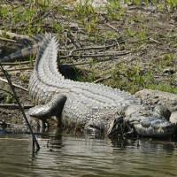 Cá sấu ăn thịt người sông Nile xuất hiện ở Mỹ