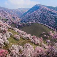 Khung cảnh thần tiên tuyệt đẹp tại thung lũng hoa mai ở Tân Cương