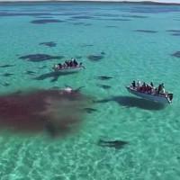 Video: 70 con cá mập cùng xé xác cá voi khổng lồ ở Úc