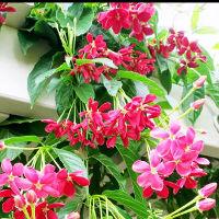 Phương pháp trồng giàn hoa sử quân tử mát rượi mùa hè