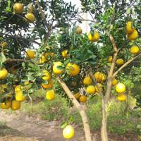 Kỹ thuật trồng bưởi Diễn cho quả sai, mọng nước
