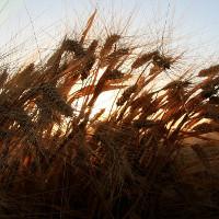 Biến đổi khí hậu làm tăng độc tố trong thực phẩm