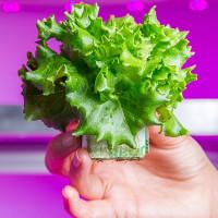 Cách trồng rau sạch tốt cho sức khỏe của người Hà Lan