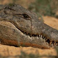 Nước mắt cá sấu vẫn còn gây tranh cãi