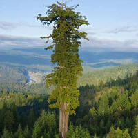 Những loài cây cao nhất thế giới đang bị đe dọa