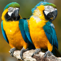 Loài chim thông mình hơn chúng ta tưởng