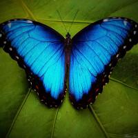 Điểm những sự thật khó tin về loài bướm xanh