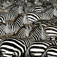 Lộ diện loài ngựa vô dụng nhất thế giới: Ngựa vằn