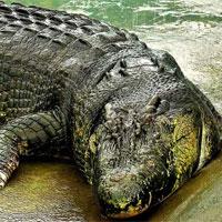 Cá sấu lớn nhất hành tinh nặng hơn một tấn