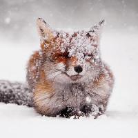 Cận cảnh loài cáo đỏ đẹp mê hồn trong tuyết trắng