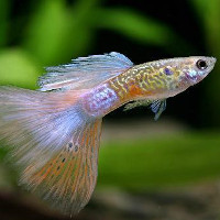 Xem cá bảy màu đẻ con