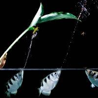 """Cận cảnh cá dùng """"súng nước"""" bắn hạ con mồi từ 3 mét"""