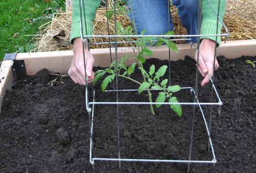 Khi cây cà chua được 1,5-2 tháng tuổi là lúc bạn cần làm giàn hoặc cọc để đỡ thân cây